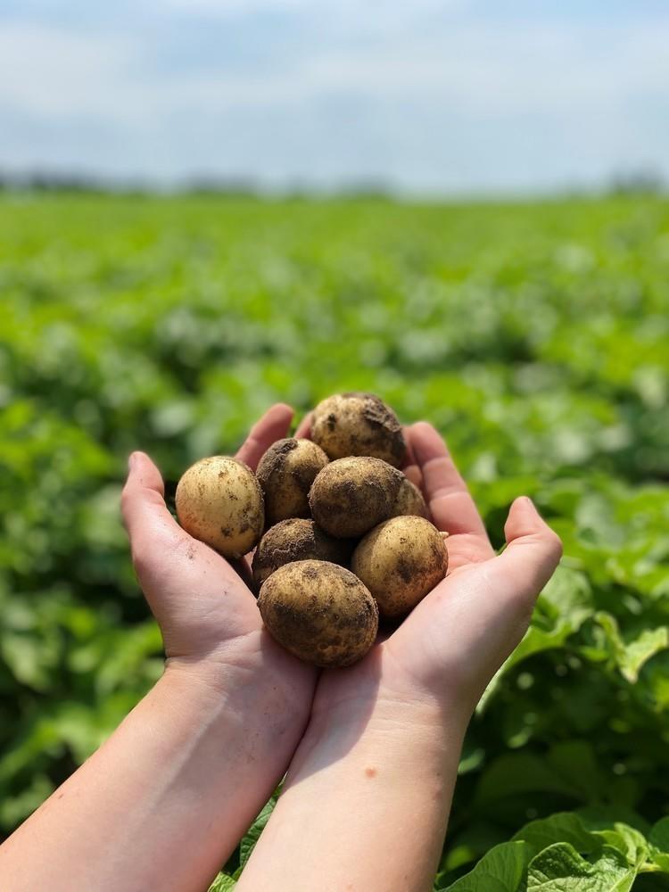 Skarhults nyskördade ekologiska potatis